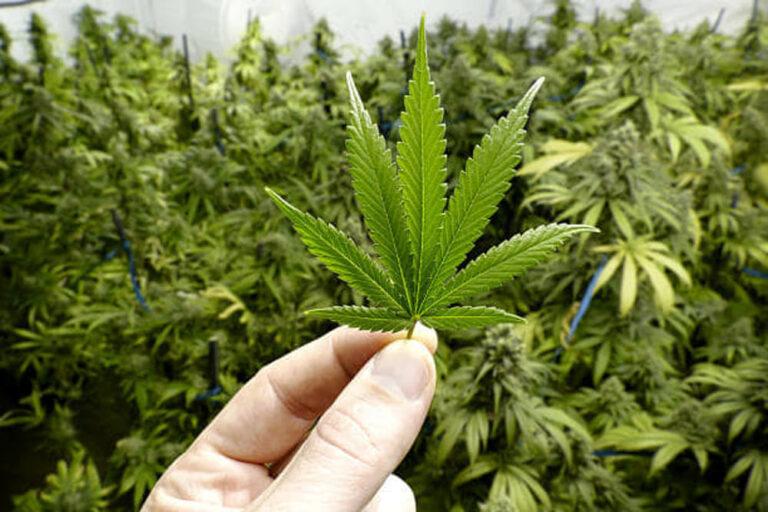 Usa, marijuana legalizzata a New York: raggiunto accordo per uso di cannabis a scopo ricreativo